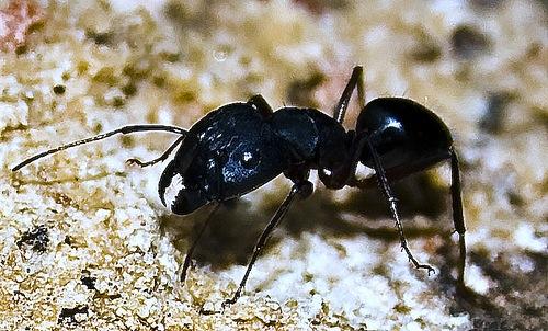 擬黒多刺蟻